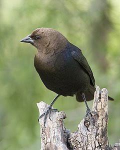 Brown-Headed Cowbird, San Angelo S.P., (c) 2008 Jim Miller