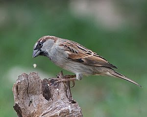 Male House Sparrow, San Angelo State Park, ©2008 Jim Miller