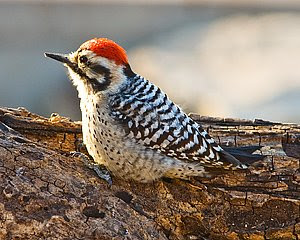 Ladder-backed Woodpecker (Male), San Angelo State Park, ©2008 Jim Miller