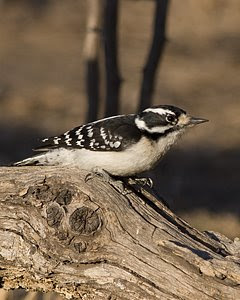 Downy Woodpecker (Female), South Llano River State Park, ©2009 Jim Miller