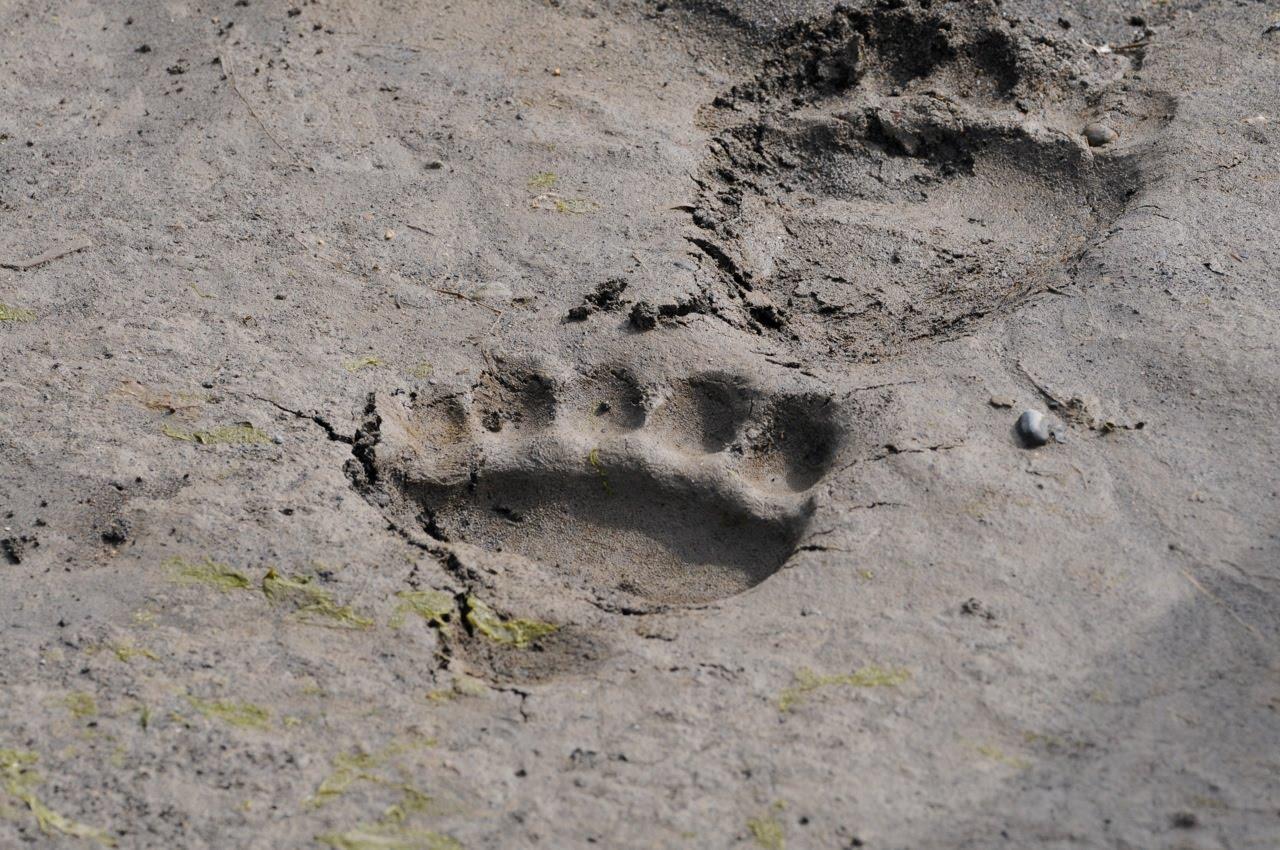 Black bear tracks in mud