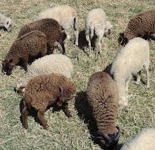 Am Anfang war das Schaf.....