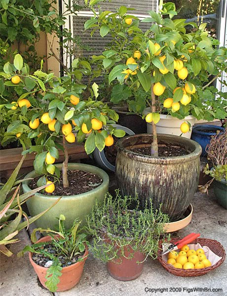 Foodessa for Growing a lemon tree in a pot from seed
