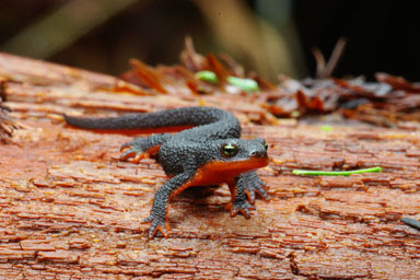Newt or Red Eft
