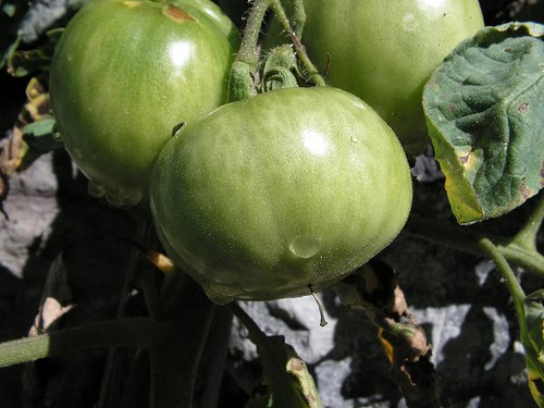 pomodori verdi fritti - photo #41