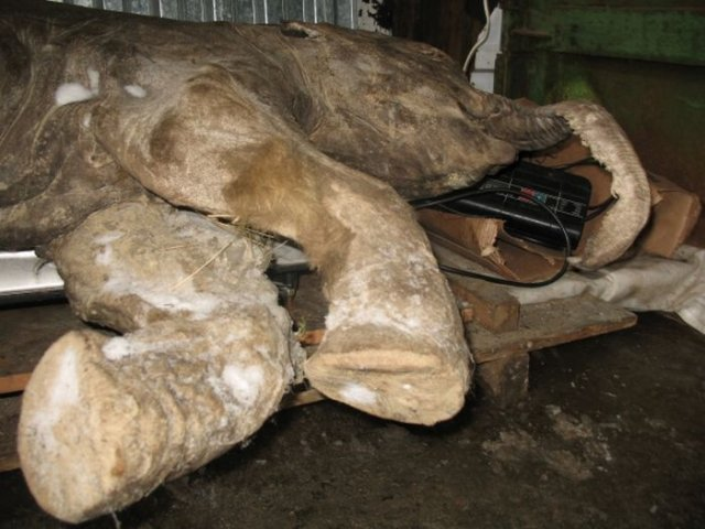 OMG Frozen Baby Mammoth in Russia Seen On  www.coolpicturegallery.us