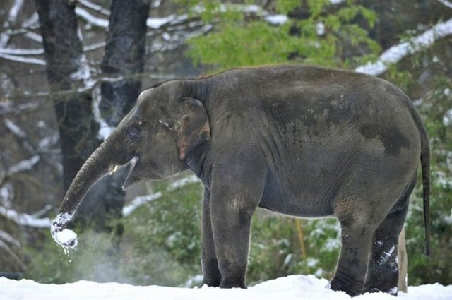 Elephant Playing in Snow At The Berlin Zoo Seen On  www.coolpicturegallery.us