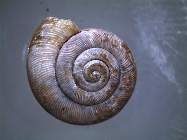 wa zoologist snails under the microscope. Black Bedroom Furniture Sets. Home Design Ideas