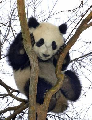 o filhote de panda Su Lin,
