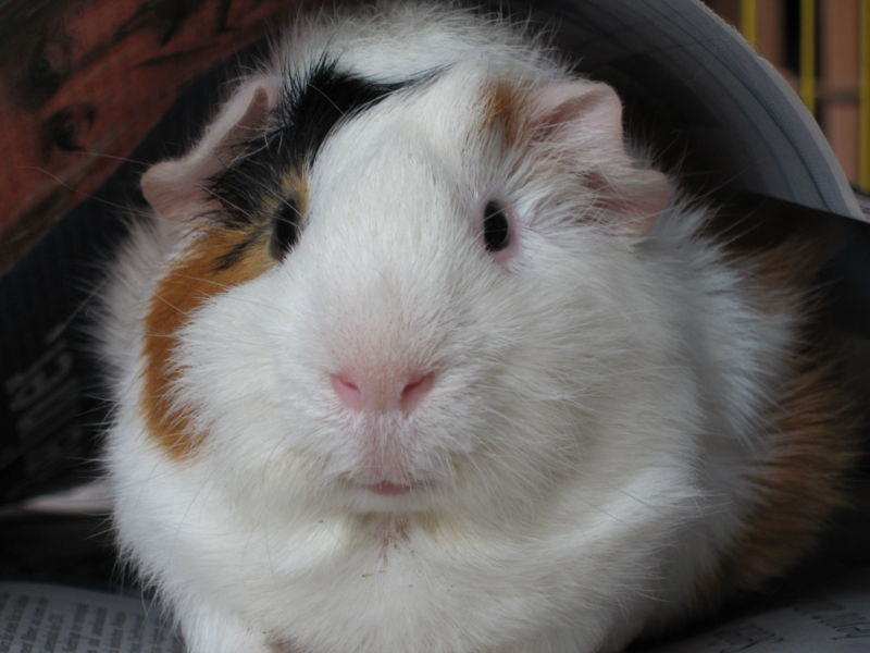 Bob the guinea pig