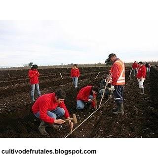 Cultivo de frutales trazado del huerto de frutales - Como se podan los arboles frutales ...