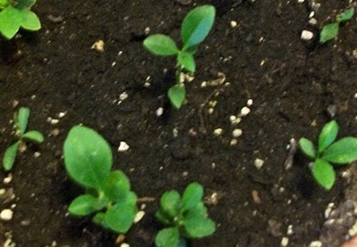 Baby Lemon Trees
