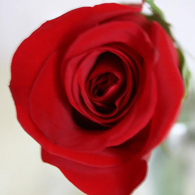 red rose flower background. Beautiful Rose Flower