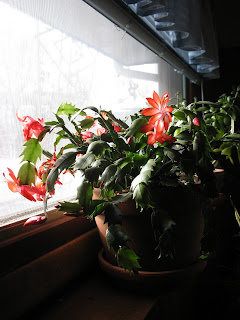 Schlumbergera truncata / Thanksgiving Cactus Flower