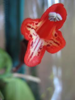 Aeschynanthus radicans / Lipstick Plant Flower