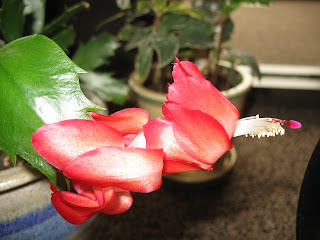 April Schlumbergera Flower