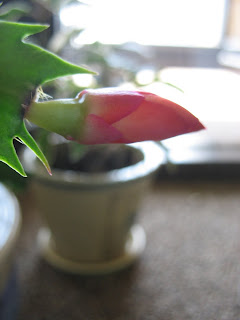 Schlumbergera April Photo