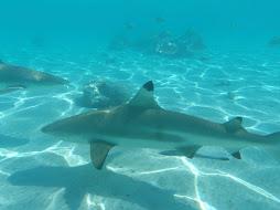 sharks everywhere