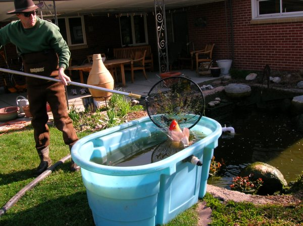 Pond cleaning day garden share bristol for Temporary koi pond