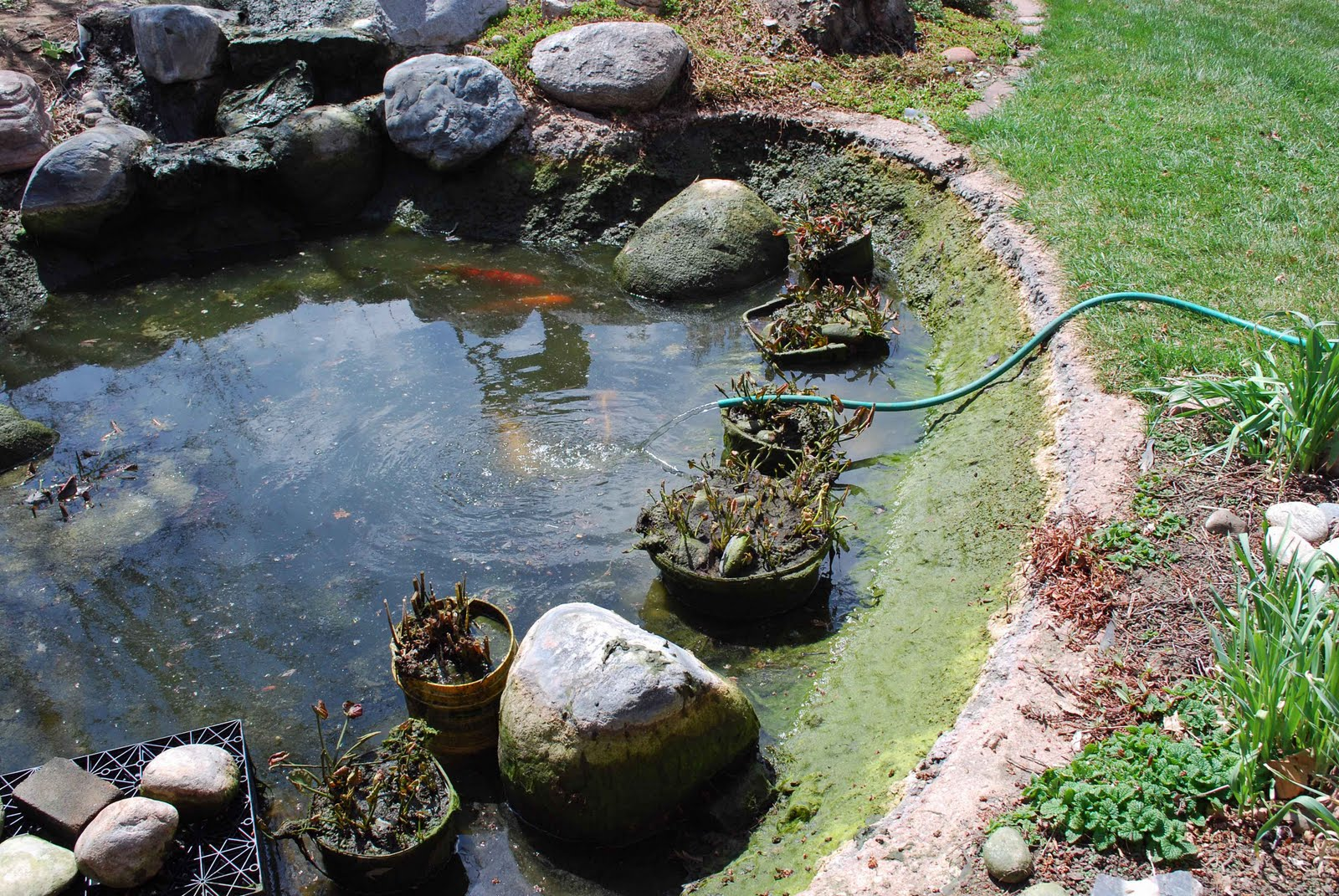 The art garden pond cleaning day for Hardiest pond fish