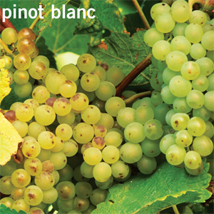 Resultado de imagen de pinot blanc uva