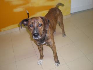 SILVESTER - Cão imponente - ADAP - SERÁ ABATIDO DAQUI A UNS DIAS P1280628