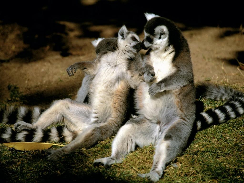 http://1.bp.blogspot.com/_HSDmLPLEnGs/TUoum-tpKYI/AAAAAAAAACU/RzsgZg24ZrE/s1600/two-raccoons-wallpapers_7333_1024x768.jpg