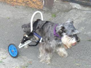 Car can carritos para mascotas discapacitadas mundo feliz for Carritos para perros