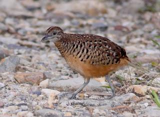 Burung On Gelatik Semakin Lama Langka Padahal Dahulu | Foto Artis