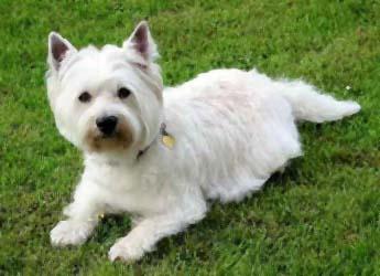 Westie Puppies on West Highland White Terrier Westie Westie Este Un Caine Popular In