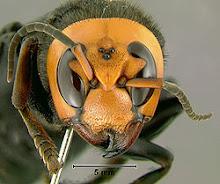 A Big Ass Hornet