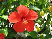Flor Cayena