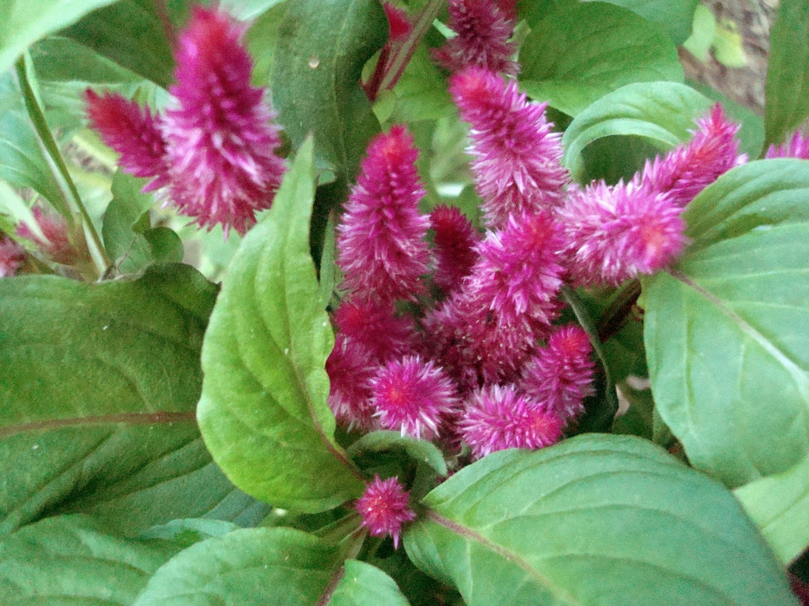 Flowers and Nature in my Garden Celosia Cocks b