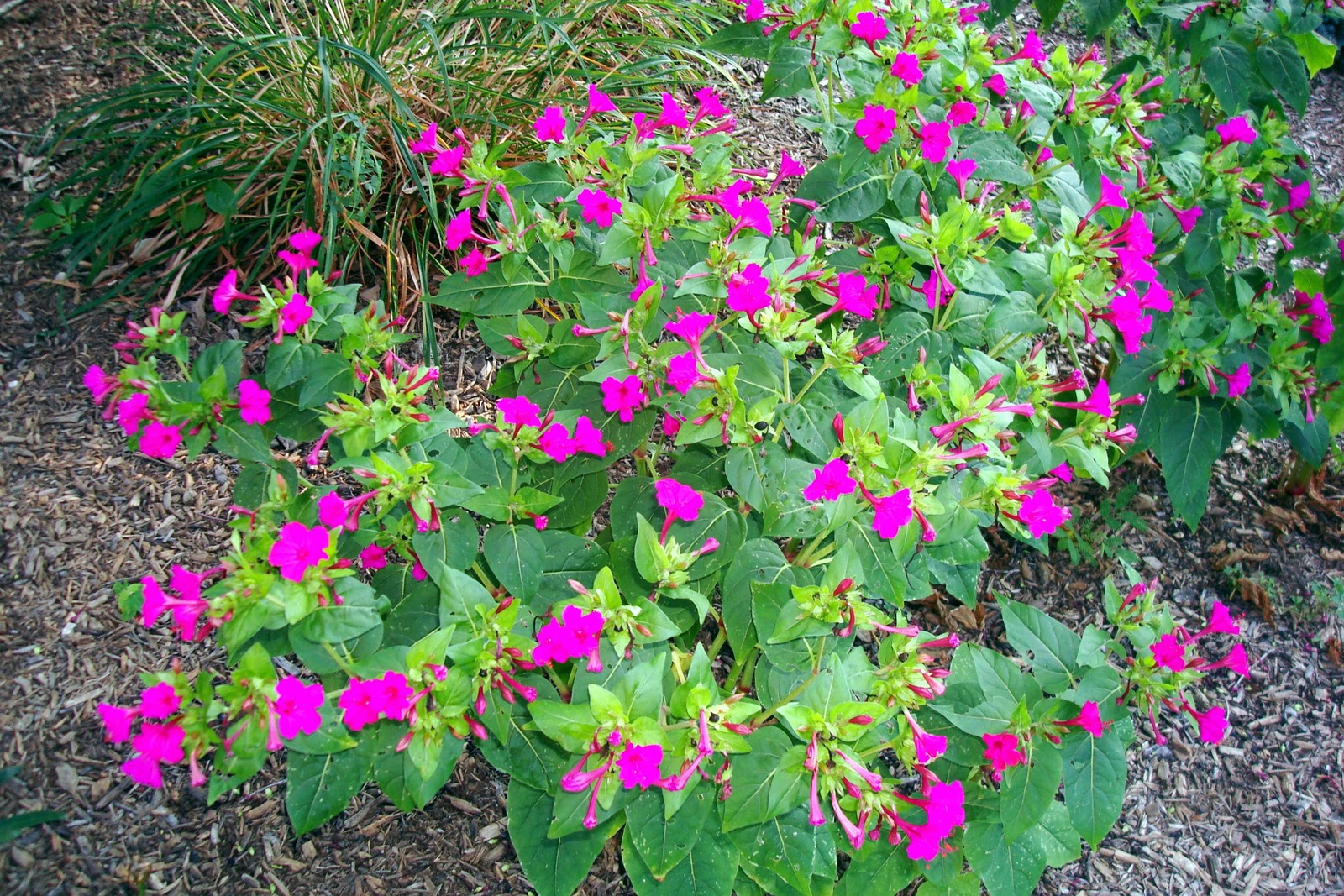 Flowers And Nature In My Garden Four Oclocks Perennials Pink Flowrs