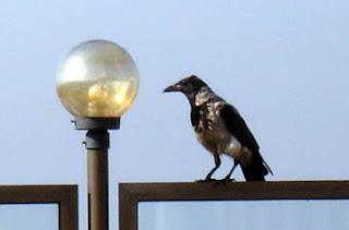 Estambul pájaro