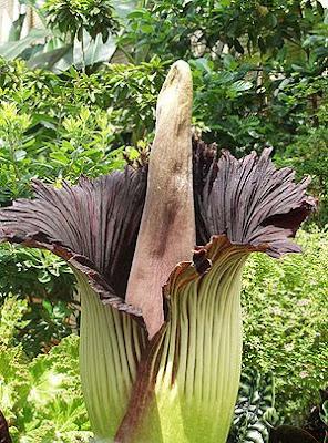 泰坦魔芋 Titan Arum lily 屍體花