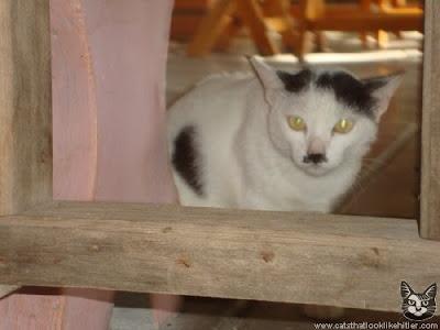 喵特勒(Kitler) -長得像希特勒的貓咪