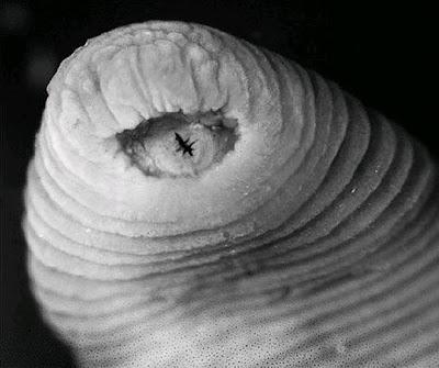 祕魯 新種 暴龍水蛭