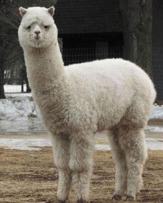草泥馬 羊駝 - 惡搞十大神獸之一 草泥馬 羊駝