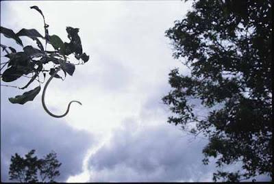 天堂樹蛇 會飛的樹蛇