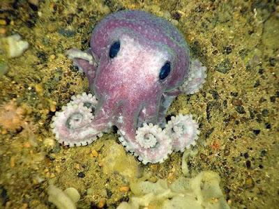 加拿大 紫色章魚