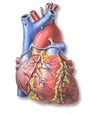 drawing of human heart