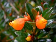 <em>Nematanthus gregarious</em> - Goldfish Plant