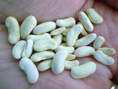how to grow a green bean seed