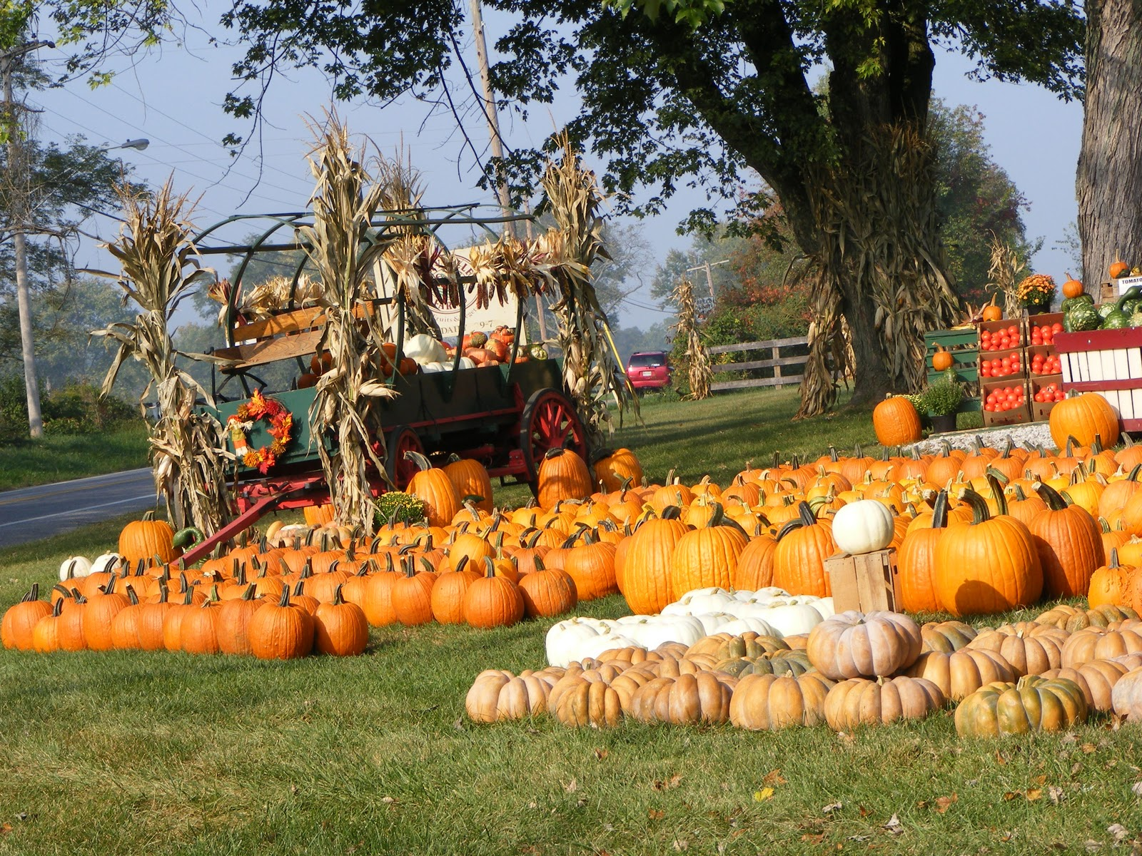 pumpkin patch Hall's pumpkin farm and corn maze on hall johnson road in grapevine, texas opening friday, october 2nd, 2015, enjoy a corn maze, hayrides, pumpkin patch, gourds, hay bales, and corn stalks galore.