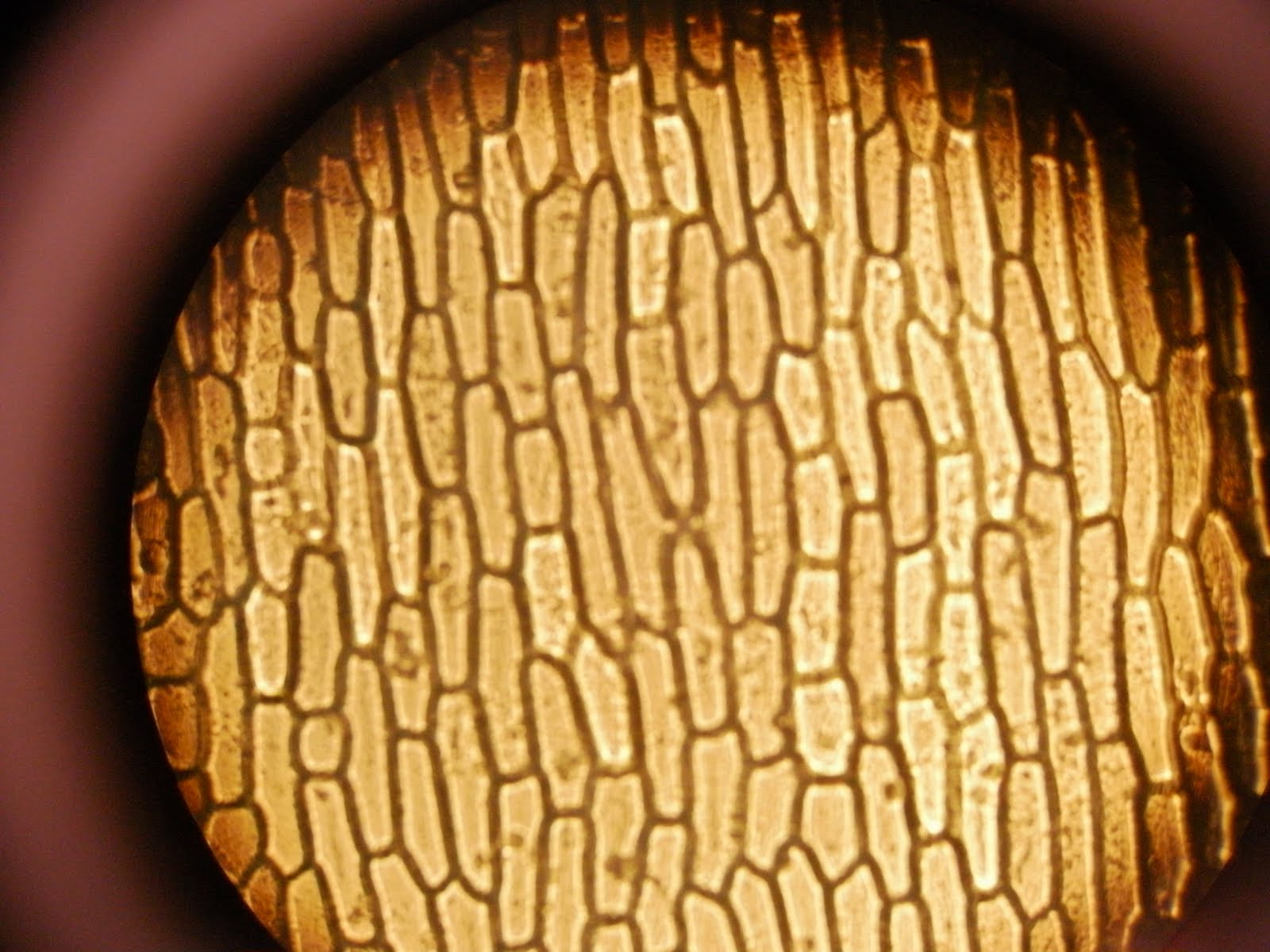 onion epidermis You should be able to describe how to prepare a microscope slide of stained onion cells here is a typical method: lay the layer of epidermis on a microscope slide.