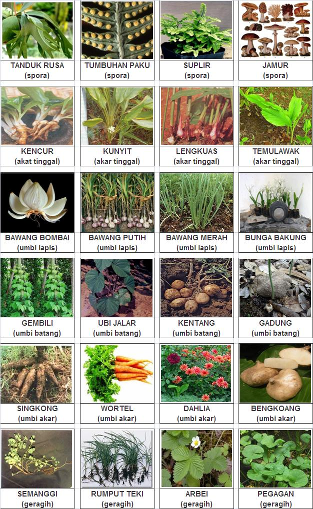 Bimbel Padma Tk Sd Gambar Dan Cara Perkembangbiakan Vegetatif