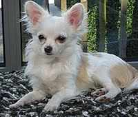 Mijn Chihuahua Rosie