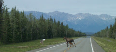 Moose Cow and her calf