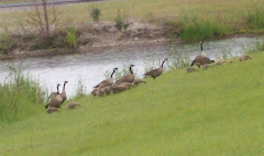 Geese near our camp